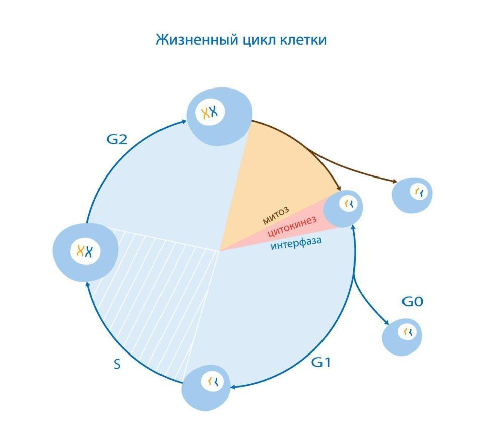 жизненный цикл клетки.jpg